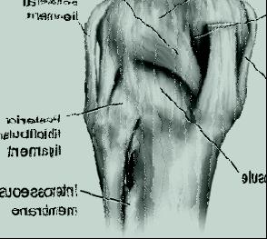 ligaments.jpg